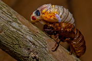 Cicada Photos - Cicada V by Gene Hilton