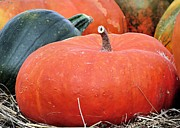 Fall Photographs Prints - Cinderella Pumpkins Print by Janice Drew
