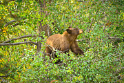 Nature Photography Prints - Cinnamon Black Bear Limited Edition Print by Greg Norrell
