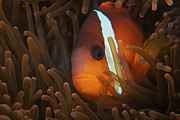 Confined Framed Prints - Cinnamon Clownfish In Its Host Anemone Framed Print by Terry Moore