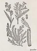Cassia Photos - Cinnamon Plant, 16th Century by Middle Temple Library