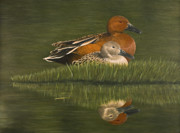 Sporting Art Prints - Cinnamon Teal Pair Print by Deborah Collier