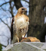 Red Tail Hawk Art - Circle Of Life  by Jennifer Stone