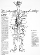 Circulatory System Posters - Circulatory System, 16th Century Poster by