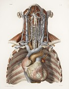 Vol Posters - Circulatory System, Historical Artwork Poster by