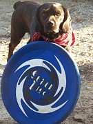 Cisco Framed Prints - Cisco and the Giant Frisbee Framed Print by L Jaye  Bell