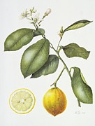 Lemon Metal Prints - Citrus Bergamot Metal Print by Margaret Ann Eden