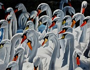 Swans... Paintings - Claddagh Swans by Bob Fox