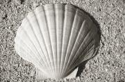 Life Line Prints - Clam Fan Print by Mary Van de Ven - Printscapes