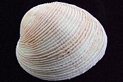 Mary Deal - Clam Shell
