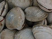 Juergen Roth Metal Prints - Clam Shells Metal Print by Juergen Roth