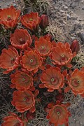 Plants Framed Prints - Claret Cup Cactus Flowers Framed Print by Michael Melford