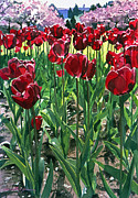 Tulip Bed Framed Prints - Claret Tulips  Framed Print by David Lloyd Glover