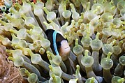 Yellowtail Clownfish Prints - Clarkes Anemonefish Print by Georgette Douwma