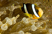 Clarks Anemonefish Prints - Clarks Anemonefish Among An Anemones Print by Tim Laman