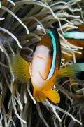 Amphiprion Clarkii Art - Clarks Anemonefish by Dave Fleetham - Printscapes