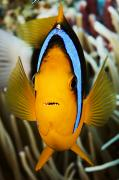 Amphiprion Clarkii Art - Clarks Anemonefish Face by Dave Fleetham - Printscapes