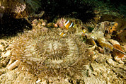 Clarks Anemonefish Prints - Clarks Anemonefish In Beaded Sea Print by Tim Laman