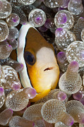 Animal Behaviour Art - Clarks Anemonefish In Bubble Tentacle by Reinhard Dirscherl