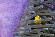 Featured Acrylic Prints - Clarks Anemonefish Juvenile Hiding Acrylic Print by Reinhard Dirscherl