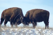 American Bison Prints - Clashing Horns Print by Dakota Light Photography by Nadene