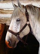 Gray Horses Photos - Classic Grey Percheron by Al Bourassa