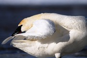 Trumpeter Swan Framed Prints - Cleanliness is next to Swanliness Framed Print by Larry Ricker