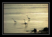 Egrets Posters - Clearwater Beach Poster by Carolyn Marshall