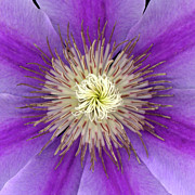 High Resolution Prints - Clematis Print by Christopher Gruver