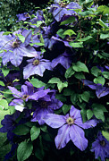Clematis 'elsa Spath' Flowers Print by Adrian Thomas
