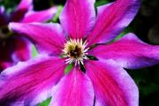 Clematis Flower Print by Cathie Tyler