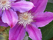 Large Flowers Prints - Clematis Flowers Print by Ernie Echols