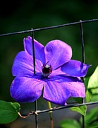 Signed Digital Art Posters - Clematis Growing on a Fence Poster by Suzanne  McClain