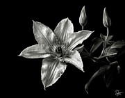 Flower Photos Framed Prints - Clematis in Black and White Framed Print by Endre Balogh
