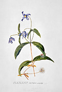 Blue Flowers Paintings - Clematis Integrafolia by George Dionysiys Ehret