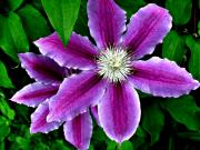 Julie  Grace - Clematis