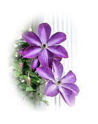 Bloomer Framed Prints - Clematis Framed Print by Kristin Elmquist