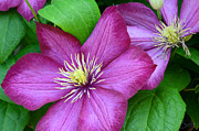 Flowering Vines Posters - Clematis No.1 Poster by Christine Belt