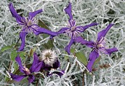 Petite Leaves Prints - Clematis petite Falcon Print by Archie Young