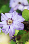 Vine Leaves Posters - Clematis Poster by Stephanie Frey