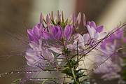 Cleome Flower Framed Prints - Cleome After Rain Framed Print by Mark Michel