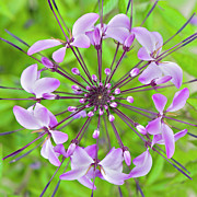 Spider Flower Framed Prints - Cleome Hassleriana  Flower Framed Print by Jacky Parker Photography