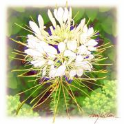 Carpet Mixed Media Posters - Cleome Poster by Terry LeBlanc