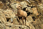 Big Horn Sheep Photos - Cliff Hanger by Adam Jewell
