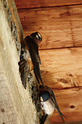 Swallow Metal Prints - Cliff Swallows 1 Metal Print by Scott Hovind