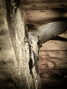 Cliff Swallows 2 Print by Scott Hovind