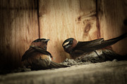 Swallow Framed Prints - Cliff Swallows 3 Framed Print by Scott Hovind