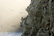 Phalacrocorax Auritus Prints - Cliffs With Roosting Cormorants Print by Tim Laman