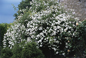Rambling Framed Prints - Climbing Rose (rosa rambling Rector) Framed Print by Archie Young