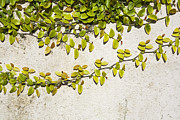 Vine Leaves Posters - Climbing Vine on Wall Poster by Paul Edmondson